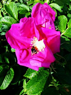 bee flower pink nature macro