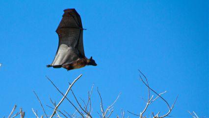 flyingdog bat pets & animals hundredislands philippines