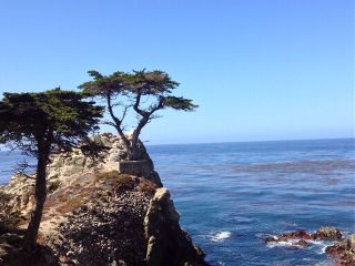 california tree lone cyprus 17 mile drive pebble beach