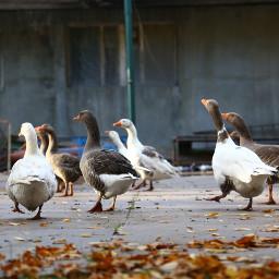 freetoedit photoediting goose birds