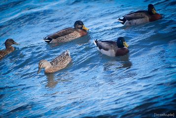 taupo photography petsandanimals ducks